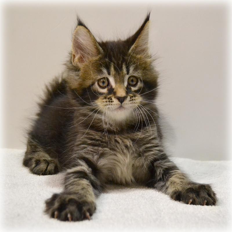 Клуб кошки мейн кун в москве клуб бильярд москва