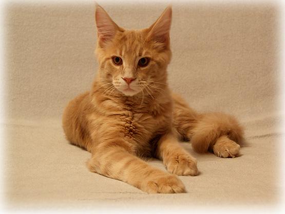 Воспитание котенка мейн куна