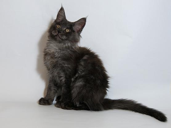 Черный дым кот мейн кун